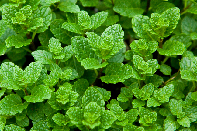 Rau thơm gây yếu sinh lý - bạc hà