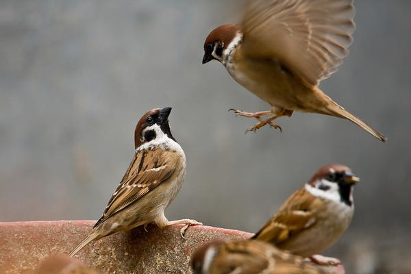 Thịt chim sẻ cũng là loại thực phẩm có công dụng chữa bệnh yếu sinh lý