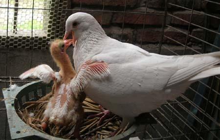 thịt chim chữa yếu sinh lý