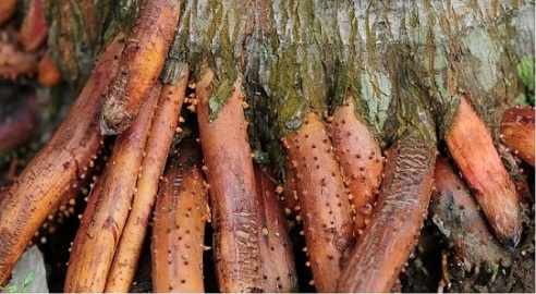Mẹo dùng rễ cau chữa yếu sinh lý