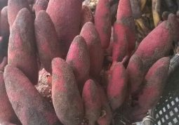 Nấm ngọc cẩu - Cây thuốc nam bổ thận tráng dương