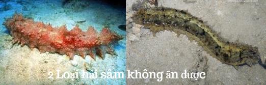Hải sâm đồm độp Holothuria martensu và Hải sâm Stichopus variegatus