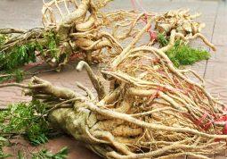 Tăng cường sinh lực với thảo dược vườn nhà - cây đinh lăng