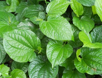 Lá lốt - cây thuốc nam trị yếu sinh lý nam dễ tìm