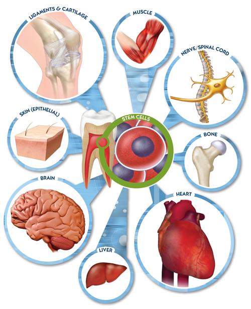 Tế bào gốc đa năng