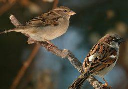 chim sẻ chữa yếu sinh lý nam