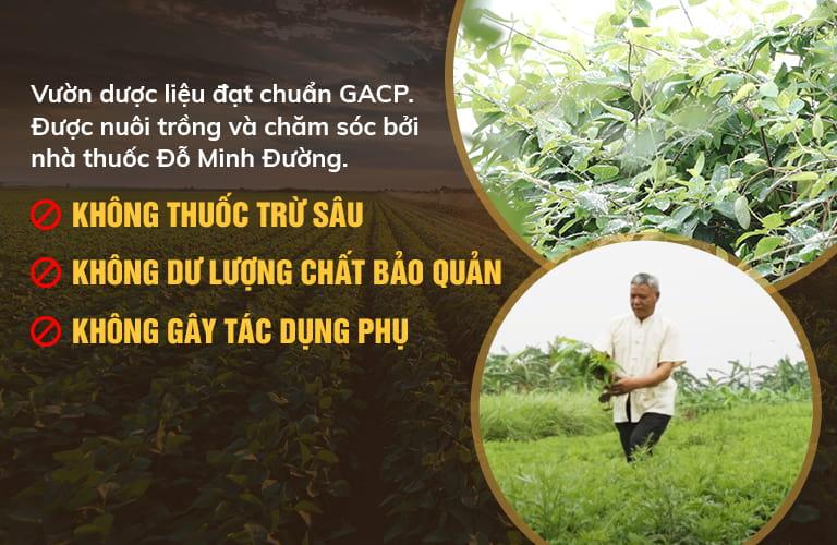 Đỗ Minh Đường sử dụng thảo dược sạch, được thu hái từ vườn chuyên canh theo tiêu chuẩn GACP-WHO